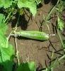 Cucumber Seeds ( Indo-Us- Priya]