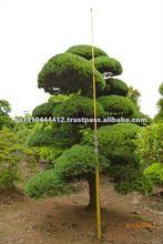 Japanese pine tree of large Bonsai outdoor plants