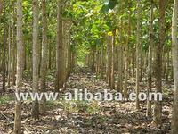 Teak Logs from Panama