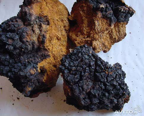 Timber fungus (CHAGA)