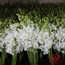 White Dendrobium Orchid Wholesale