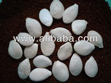 White pumpkin seeds Volga Grey