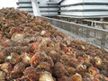 Huile de palme brute à la vente( export)