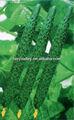 /semer vos graines de concombre en germination