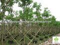 cassia fistula arbóreas tropicais