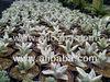 succulent plant kalanchoe eriophylla ' snow'