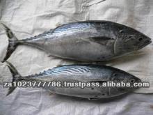High Quality Frozen bonito tuna whole fish Fresh /Frozen Grade A HOT SALES