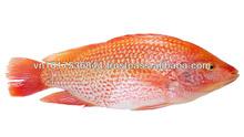 Hot sales Vietnam high quality red tilapia