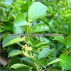 Gymnema Sylvestre extract/ Halal Gymnema Extract/ Gymnema with 25%, 50% and 75%