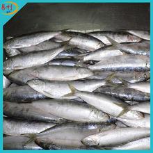 Fresh frozen sardines fish for bait on sale