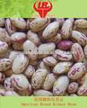 haricots nains tachetés ronde américaine