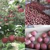2014 fresh huaniu apple fruit for export