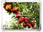 Fresh Red Chief Huaniu Apples