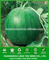 JW01 Juba Big size green color hybrid f1 seedless watermelon seeds