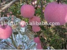 Chinese sweet red fuji apple