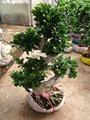 s شكل اللبخ شجرة دائمة الخضرة
