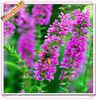 Factory supply Nature Lythrum salicaria P.E.