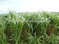 estação quente alto rendimento híbrido pennisetum sementesdecapim