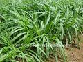 Exportação de alta rendimento híbrido Penisetum forragem semente