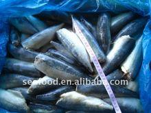 HGT frozen mackerel for canned