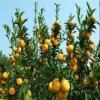 Baby Honey Mandarin Orange