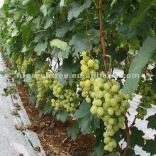 grade one grape Victoria