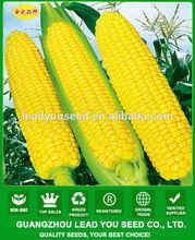 Aco011 Yumi piel amarilla híbrido f1 semillas de maíz dulce maíz semillas