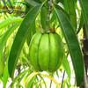 Garcinia Cambogia Fruit P.E. 50%
