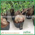 Ficus microcarpa árbol( de hoja perenne del árbol) viveros bonsai