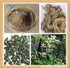 Black Cohosh Extract Black Cohosh P.E. 2.5%Triterpene Glycosides