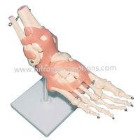 Human Medical Anatomical Foot Model