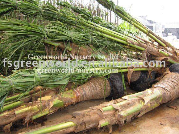 cocos nucifera cocco palma alberi