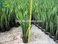 الاسم العلمي للنباتات (sansevieria laurentii)