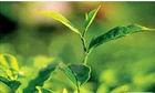 High Quality Green Tea P. E.30%-98% Polyphenols