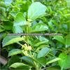 Gymnema extract GMP, Gymnema extract 75% Gymnemic Acid / Gymnema sylvestre extract 25% / Gurmar Extract