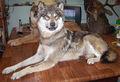 animatronic lobos nefastas para la venta