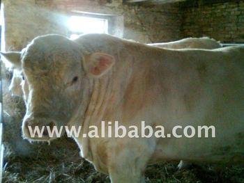 Live slaughter bulls, heifers