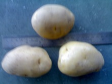 seeds potato
