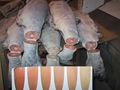 シロザケの鮭の頭