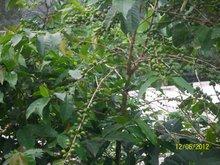 RAW GREEN COFFEE ARABICA AND ROBUSTA