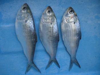 SARDINE - GIZZARD SHAD FISH