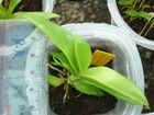 Dendrobium antenantum orchid