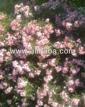 Nerium oleander 1000 seeds