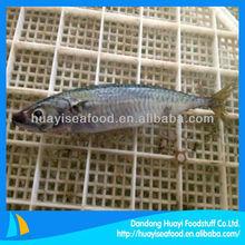 frozen mackerel(scomber japonicus) seafood supplier
