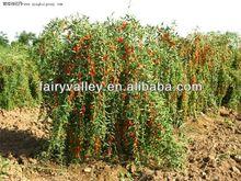 Hybrid F1 Ningxia Best Quality Goji Berry Seeds For Goji Plants Trees 10 years Experience