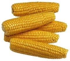 yeloow maize