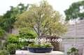 Taiwan bonsai- da árvore de folha caduca