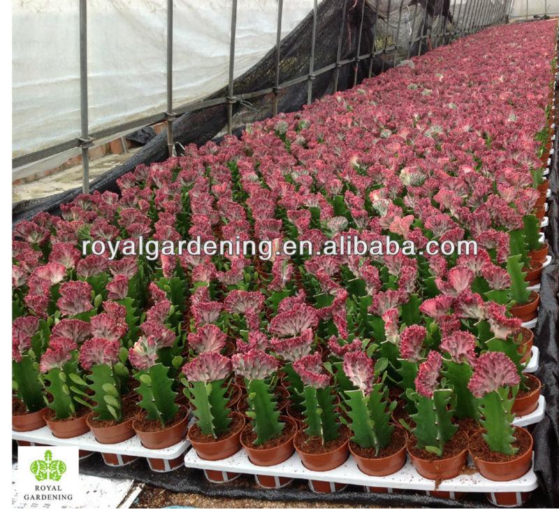 Euphorbia lactea flower euphorbia lactea f