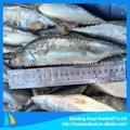 Congelados de pescado( caballa del pacífico)