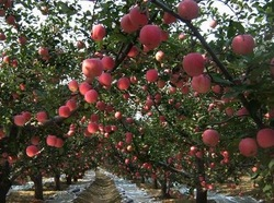High Quality & Competitive Offer China Red FUJI Apple of The World Optimized Growing Place of Shaanxi